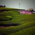 茶畑_0803